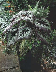 dark and dramatic - potted Rex Begonia 'Fireworks' , Japanese painted fern, sedge and wire vine