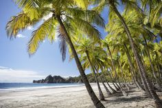 Palm trees on white-sand beach, Playa Carrillo, Costa Rica.