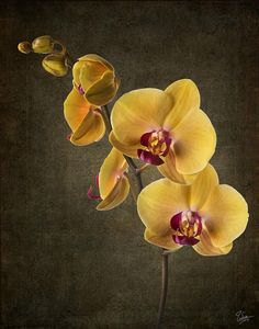 Flores Discover Phalaenopsis Orchid by Endre Balogh Phalaenopsis Orchid Photograph Cymbidium Orchids, Phalaenopsis Orchid, Purple Orchids, Yellow Orchid, Black Orchid, White Orchids, Rare Flowers, Exotic Flowers, Beautiful Flowers