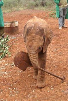 2007 playing with shovel baby elephant All About Elephants, Elephants Never Forget, Save The Elephants, Elephants Photos, Baby Elephants, Asian Elephant, Elephant Love, Elephant Art, David Sheldrick Wildlife Trust