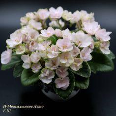 Aly/'s Blizzard Bunny 2 Blätter//2 leaves African Violet Usambaraveilchen