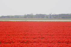 red tulips - amazing!