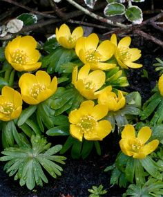 "The Winter Aconite. A good forcer, this early blooming naturalizer has bright lemon-yellow flowers atop recurved collars of dark green, spiky foliage. Circa 1570, this heirloom prefers rich, moist humus soil in partial shade. Deer-proof. Bulb size: 3.5/4 cm. March/April. 4"". Plant 4"" deep and 4"" apart. HZ: 5-8.     100/ 18.75"