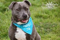 Meet Jasper Justice, an adoptable Pit Bull Terrier looking for a forever home. If you're looking for a new pet to adopt or want information on how to get involved with adoptable pets, Petfinder.com is a great resource.