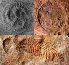 Eventually, though, these pioneering multicellulars evolved into the first actually large organisms - the Ediacaran Biota.