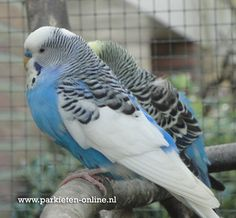www.parkieten-online.nl Parakeet, Budgie, Grasparkiet, Parkieten
