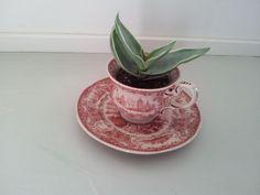 succulent in teacup