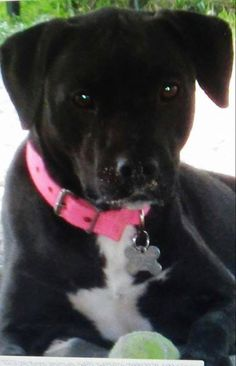 12/24/14 Clermont FL: URGENT! LOST DOG. Georgie has been missing for a week. Please help find her. Contact Jennifer the foster mom or Judy at Pet Rescue! (Only comment on Facebook if it helps locate the dog.)