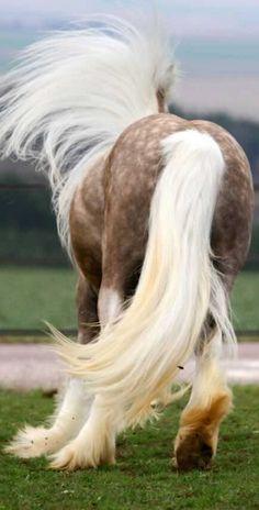 Dapple palomino Gypsy Vanner draft horse