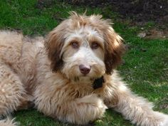 Aussiedoodle. I so have a thing for the scruffy looking (yet still soft) dogs!