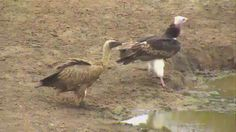A White-headed and White-backed Vulture at Nkorho. - Feb 23 2016 - 12:50pm| Africam