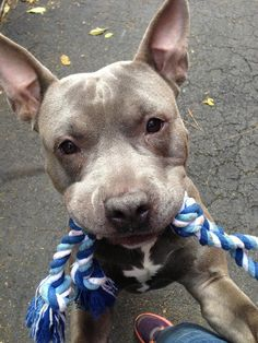 TO BE DESTROYED 11/13/13 Manhattan Center LIL-BOI  #A0984321. MALE  GRAY & WHITE  PIT BULL MIX STRAY 11/07/2013  JUST A BABY @ 1 YR 1 MTH !!!  A compact barrel of fun, & quite the handsome guy. Ready for action, eager for adventure! Also a nifty little athlete w/ a love for a spirited game of fetch. Likely house trained, takes treats gently. Also comes when called, & gives sweet standup hugs. He needs a new family to love & care for him forever. Can you  open up your hear?