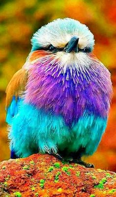 Lilac Breasted Roller ~ what beautiful colors!