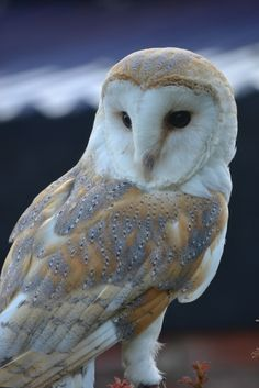 Exhibit A. Barn owl. This is how they really look. The feathers on the wings and head are dappled this lovely beige and gray.