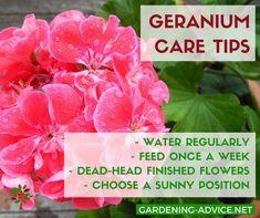 Care Of Geranium Plant - Garden Design Ideas - Gardening Geranium Care, Geranium Plant, Garden Furniture Design, Fairy Garden Furniture, Backyard Garden Design, Small Garden Design, Plant Design, Growing Geraniums, Geraniums Garden