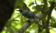 Chorona-cinza (Laniocera hypopyrra)