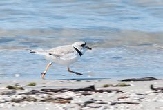 Piping plover, Wasaga Beach Provincial Park Wasaga Beach, Places Of Interest, Ontario, Canada, Camping, Park, Creative, Animals, Campsite