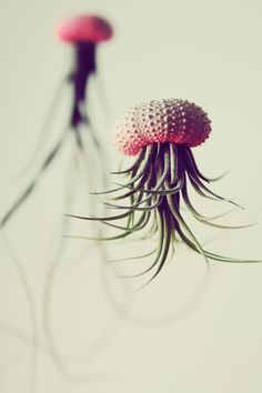 LA-based designer and art director Cathy Van Hoang had the novel idea of using sea urchin shells as upside down planters for air plants to create little aerial jellyfish. She sells them in her Etsy shop, PetitBeast. (via Steampunk Tendencies)
