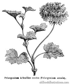 Illustration showing a horseshoe geranium (Pelargonium zonale), a flowering plant in the family Geraniaceae, widely popular for its decorative qualities. Beginner Tattoos, Cc Images, Botanical Flowers, Leaf Art, Paris, Botanical Illustration, Vintage Flowers, Line Drawing, Flower Art
