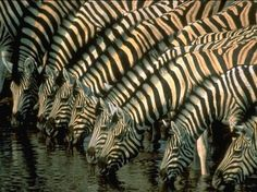 The zebras taking a drink in some nice warm woter