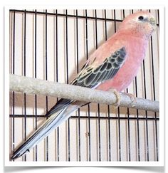 Rosy Bourke's Parakeets for Sale