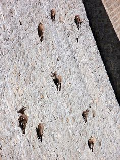Mountain goats scramble up a near-vertical wall in Italy