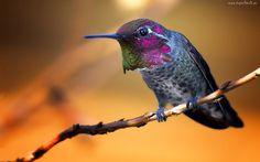 Koliber