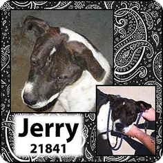 Altus, OK - Terrier (Unknown Type, Small) Mix. Meet Jerry a Dog for Adoption.