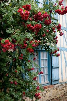 Roses in French country village