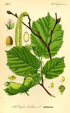 Corylus avellana/pähkinäpensas