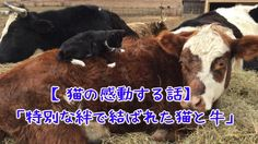 【猫の感動する話】「特別な絆で結ばれた猫と牛」【1分涙腺崩壊】 特別な絆で結ばれた猫と牛。大親友が息を引き取るまで、寄り添い続ける猫の姿に涙… ☆☆☆☆☆☆ 涙腺崩壊-1分で感動!では、 泣ける話、感動する話を 厳選して配信しています。 音と画像で心震える感動を…。 チャンネル登録すると 新しい動画がスグに見れます☆ ▼▼▼ http://www.youtube.com/subscription_center?add_user=namidaafureru