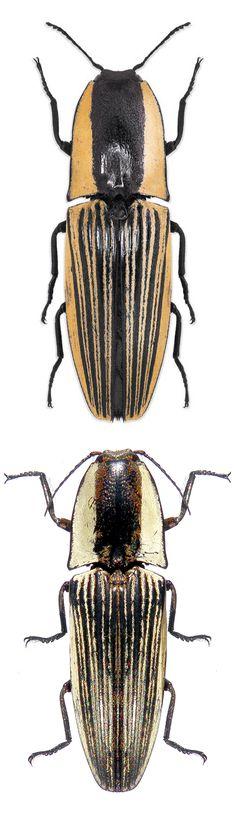 Chalcolepidius limbatus