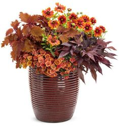 Proven Winners - ColorBlaze® Wicked Hot™ - Coleus - Solenostemon scutellarioides plant details, information and resources. Container Flowers, Container Plants, Container Gardening, Urban Gardening, Orange Plant, Fall Containers, Potato Vines, Border Plants, Proven Winners