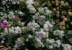 'Penelope ' Rose Photo