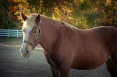 13 year old Belgian/Quarter Horse cross mare. Cora was rescued from a slaughter broker's lot in Pennsylvania after going through the New Holland Auction. She arrived here in January of 2012 and is now enjoying grooming and affection. Cora was...