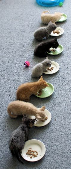 Before they all wandered away from their own plates and started eating off each others' plates, Saturday-Kitteh-Sitter Robyn A. snapped this shot of Ezra, Bessemer, Caleb, Beulah, Phinneas, Elijah,...