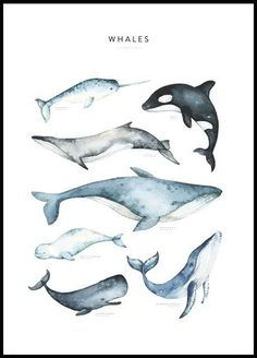 Fin Whale, Whale Art, Blue Whale Drawing, Whale Painting, Watercolor Whale, Good Morning Posters, Types Of Whales, Whale Illustration, Whale Nursery