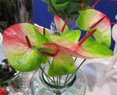 Lovely Anthurium