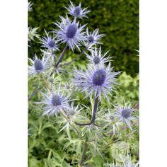 Panicaut des Alpes: godet Plantation, Belle Photo, Dandelion, Flowers, Plants, Gardening, Photos, Gardens, Blue Flowers