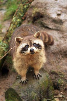 Raccoon at Porfell Wildlife Park Nature Animals, Woodland Animals, Animals And Pets, Baby Animals, Cute Animals, Cute Raccoon, Racoon, Raccoon Paws, Mundo Animal