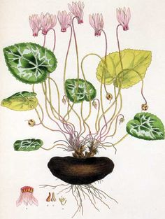 Picturing Plants and Flowers: Ferdinand Bauer: Cyclamen
