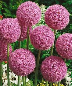 Allium 'Giganteum' - A summer blooming Allium that reaches great heights, 5-6 feet. Zones 6-10