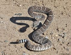 Two North American rattlesnake species are commonly called diamondbacks. Here is all fact about Rattlesnake and Their Babies. Bug Identification, Texas Pete, Poisonous Snakes, Only In Texas, Desert Animals, Snake Art, Snake Tattoo, Animal Projects, Reptiles And Amphibians