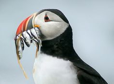 As Gulf of Maine warms, puffins recast as canaries in a coal mine