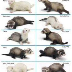 Ferrets <3 I want 1 so bad!! Either a panda, chocolate, blaze, or cinnamon