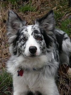 """(Border Collie) * * """" Wutever dimension yer in ders always some guy tryin' to takes over de world. All Dogs, Best Dogs, Dogs And Puppies, Doggies, Best Dog Breeds, Corgi Puppies, Border Collie Puppies, Collie Dog, Australian Shepherds"""