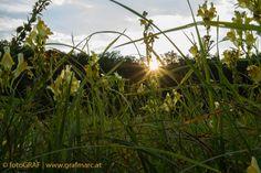 """Artenreiche Sommerwiesen - Alle Jahre wieder geben sich Glockenblumen, Margariten und Co. ein Stelldichein auf den Wiesen des NP Thayatal. Auf den """"fetten"""" wie den """"mageren"""". Was das eigentlich bedeutet und wie jeder zur Artenvielfalt in der Wiese beitragen kann, darüber gibt der aktuellste NP Thayatal Blogbeitrag Auskunft: http://blog.np-thayatal.at/"""