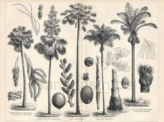 This 1895 German engraving shows different types of palm trees.