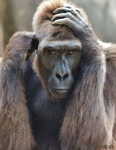"""""""Staring Contest"""" A female gorilla stares directly ahead."""