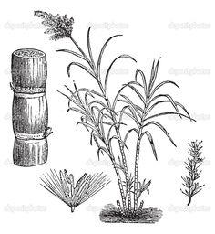 sugar cane illustration - Google Search